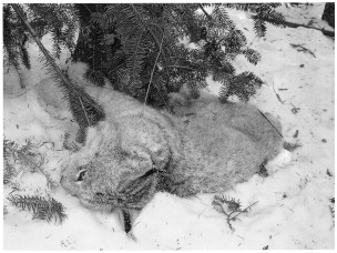 Photo: Caption:  Snares and traps set for wolves unintentionally kill other animals, such as the dead lynx pictured in this photo.
