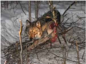 Photo: The wolf above was snared in Superior National Forest.